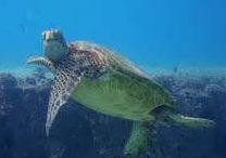 Sea Turtle Serenade Slack Key